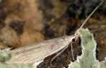 Coleophora acutiphaga (I, G)