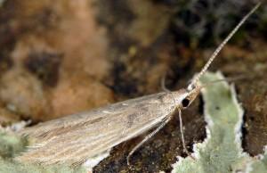 Coleophora acutiphaga 1