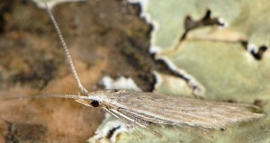 Coleophora acutiphaga 2