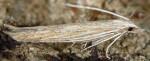 Coleophora adelogrammella (I)