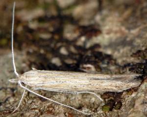 Coleophora adelogrammella 2