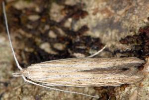 Coleophora adelogrammella 3