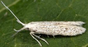 Coleophora afrosarda 1