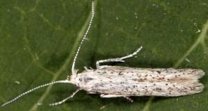 Coleophora afrosarda 3