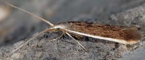 Coleophora albella 2
