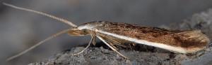 Coleophora albella 3