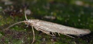 Coleophora albicella 1