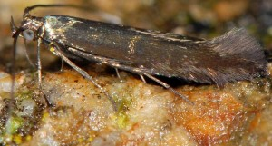 Coleophora alcyonipennella 2