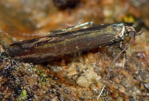 Coleophora alcyonipennella 3