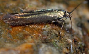 Coleophora alcyonipennella 4