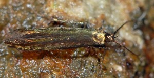 Coleophora alcyonipennella 5
