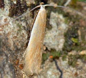 Coleophora alnifoliae 1