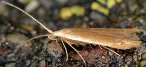 Coleophora alnifoliae 3