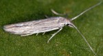 Coleophora anitella (I)