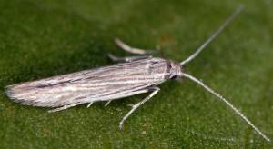 Coleophora anitella 2