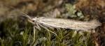 Coleophora argentula (I, F, G)