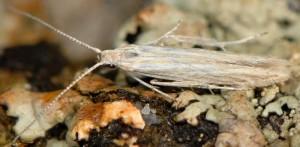 Coleophora argentula 5