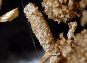 Coleophora argentula f 2