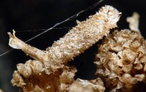 Coleophora argentula f 3