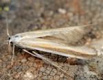 Coleophora astragalella (I)