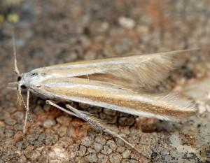 Coleophora astragalella 1