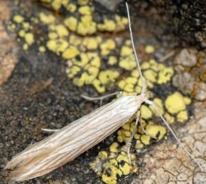 Coleophora auricella 2