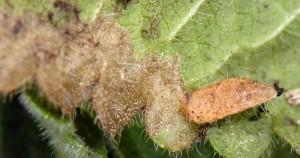 Coleophora auricella f 2