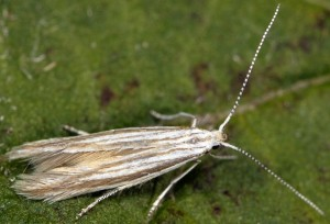 Coleophora bifrondella 1