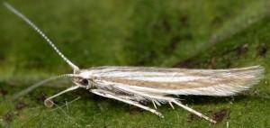 Coleophora bifrondella 3