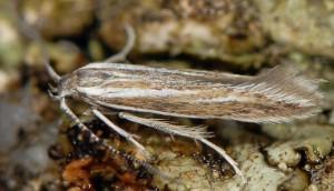 Coleophora bifrondella 4