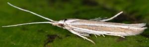 Coleophora bilineella 4