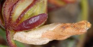 Coleophora bilineella f 1