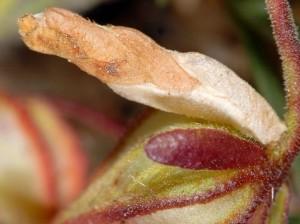 Coleophora bilineella f 2