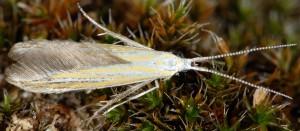 Coleophora brunneosignata 4