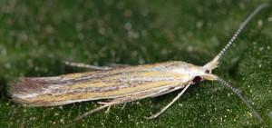 Coleophora brunneosignata 5