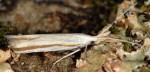 Coleophora caelebipennella (I, F, G)