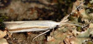 Coleophora caelebipennella 1