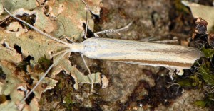Coleophora caelebipennella 2
