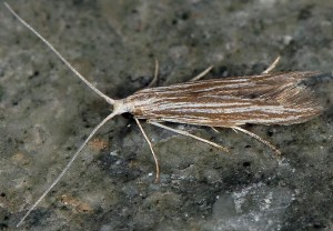 Coleophora calycotomella 05