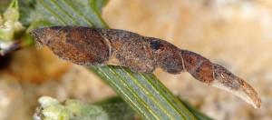 Coleophora calycotomella f 2