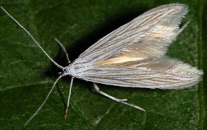 Coleophora chamaedriella 1