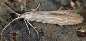 Coleophora chamaedriella 2