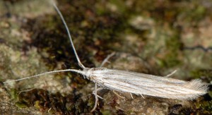 Coleophora chamaedriella 5