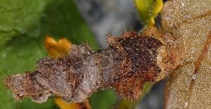 Coleophora chamaedriella f 1