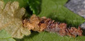 Coleophora chamaedriella f 2