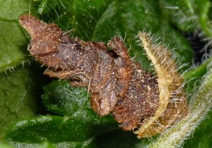 Coleophora chamaedriella f 3