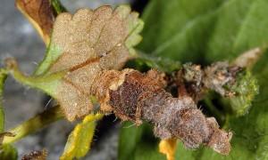 Coleophora chamaedriella f 4