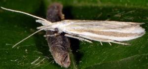 Coleophora chretieni 1