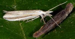 Coleophora chretieni 2