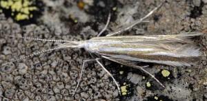 Coleophora chretieni 3